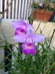 洋蘭原種 Arundina.graminifolia ナリヤラン