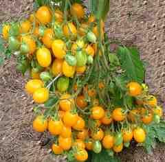 1房に約100個以上の多果性 超甘い 金豊ミニトマト 2粒 F1品種