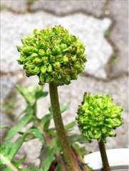 希少 緑花タンポポ 手鞠咲き