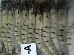 エビフライに ブラックタイガー有頭 40尾 1.3k 生冷凍