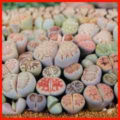 リトープス 種50粒 MIX種子 メセン コノフィツム 多肉植物