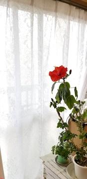 レア花柄ボタニカル白ホワイトレースカーテン200cm×173cm×1枚