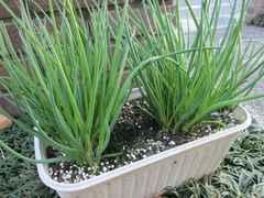◆アサツキ 40グラム♪天然野生原種の自家栽培品