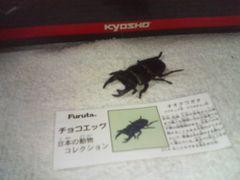 フルタ 日本の動物1  オオクワガタ              黒いダイヤ